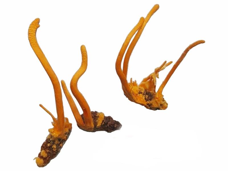 Đông trùng hạ thảo
