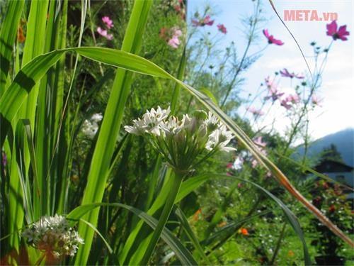 tinh dau sa hoa hong palmarose