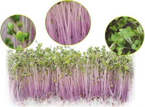 Máy trồng rau mầm KG-262 trồng mầm củ cải đỏ