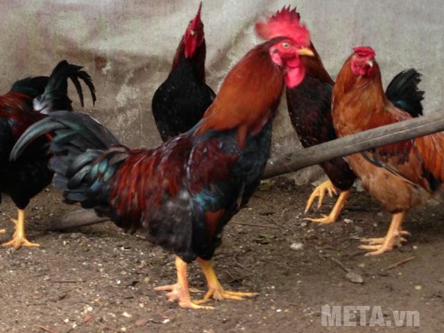 Chọn những con gà có mào đỏ tươi