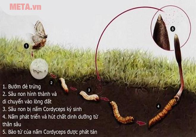 Đông trùng hạ thảo là gì?