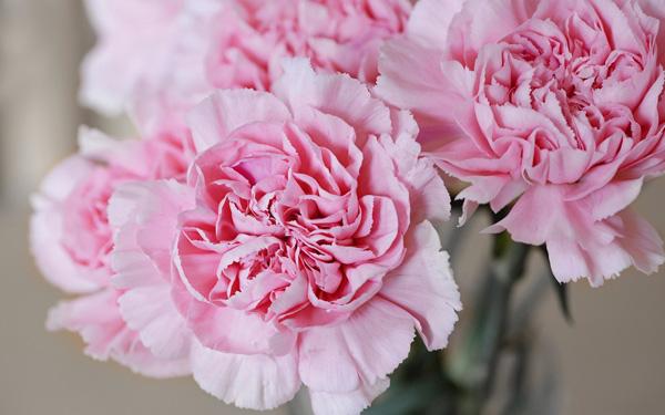 Hoa cẩm chướng hồng tặng mẹ ngày 8-3