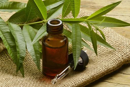 Tinh dầu tràm hỗ trợ điều trị hiệu quả viêm xoang