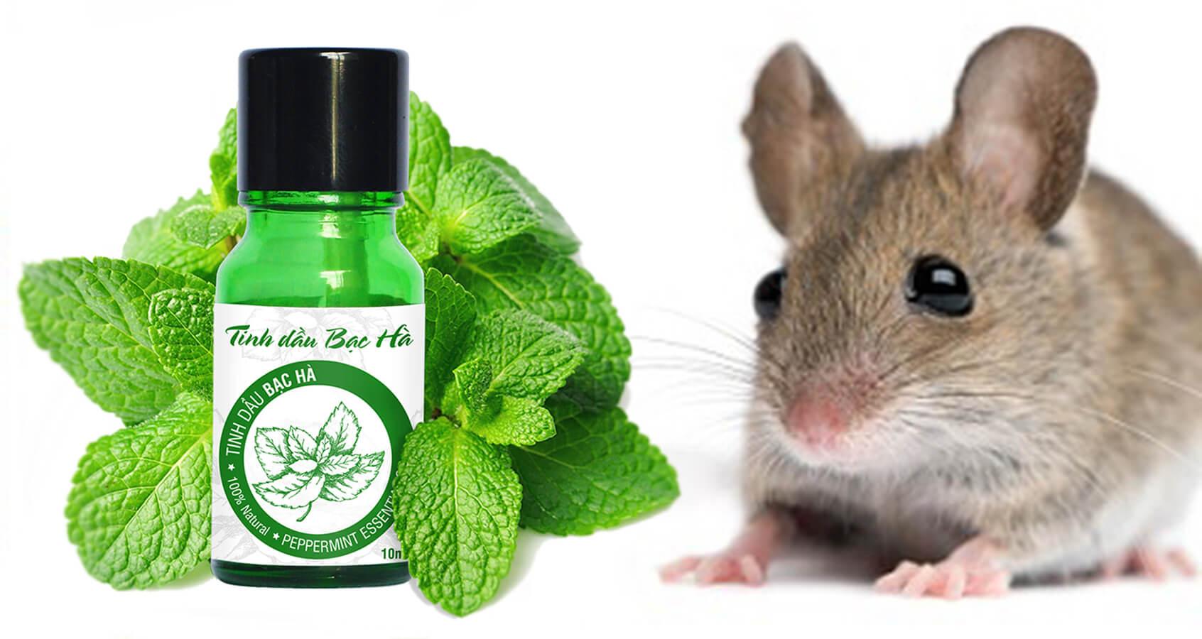 cách đuổi chuột hiệu quả với tinh dầu bạc hà