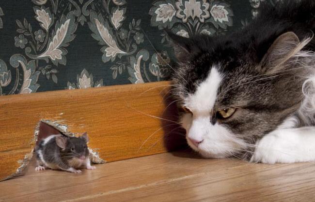 Nuôi mèo đuổi chuột