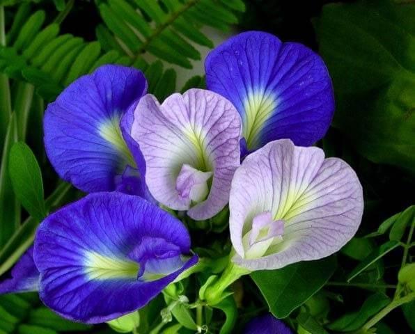 Hoa đậu biếc có nhiều tác dụng tốt cho sức khỏe