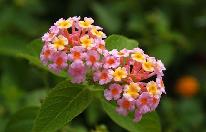 Hoa ngũ sắc trồng quanh nhà giúp đuổi muỗi