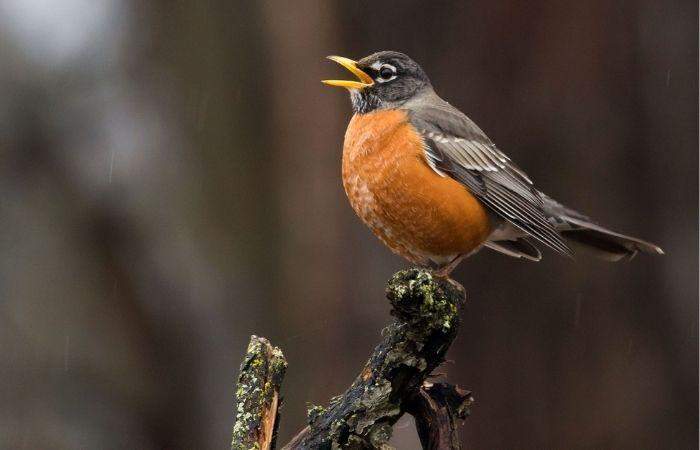 Tiếng chim hót là một dạng âm mid thường gặp