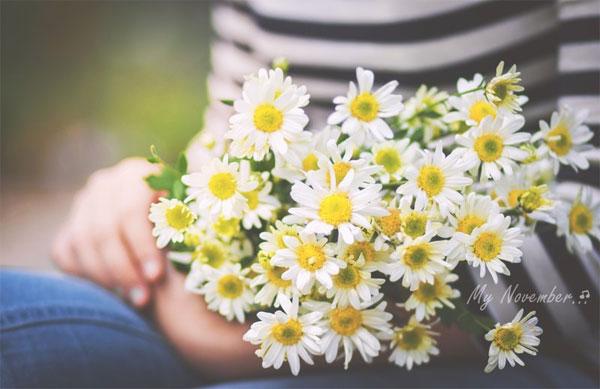 Thơ về hoa cúc họa mi