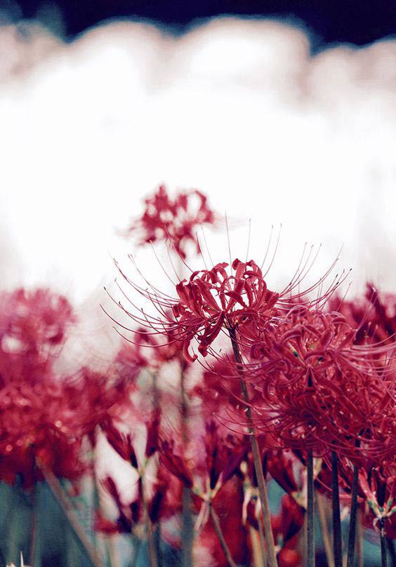 Ảnh hoa bỉ ngạn buồn 15