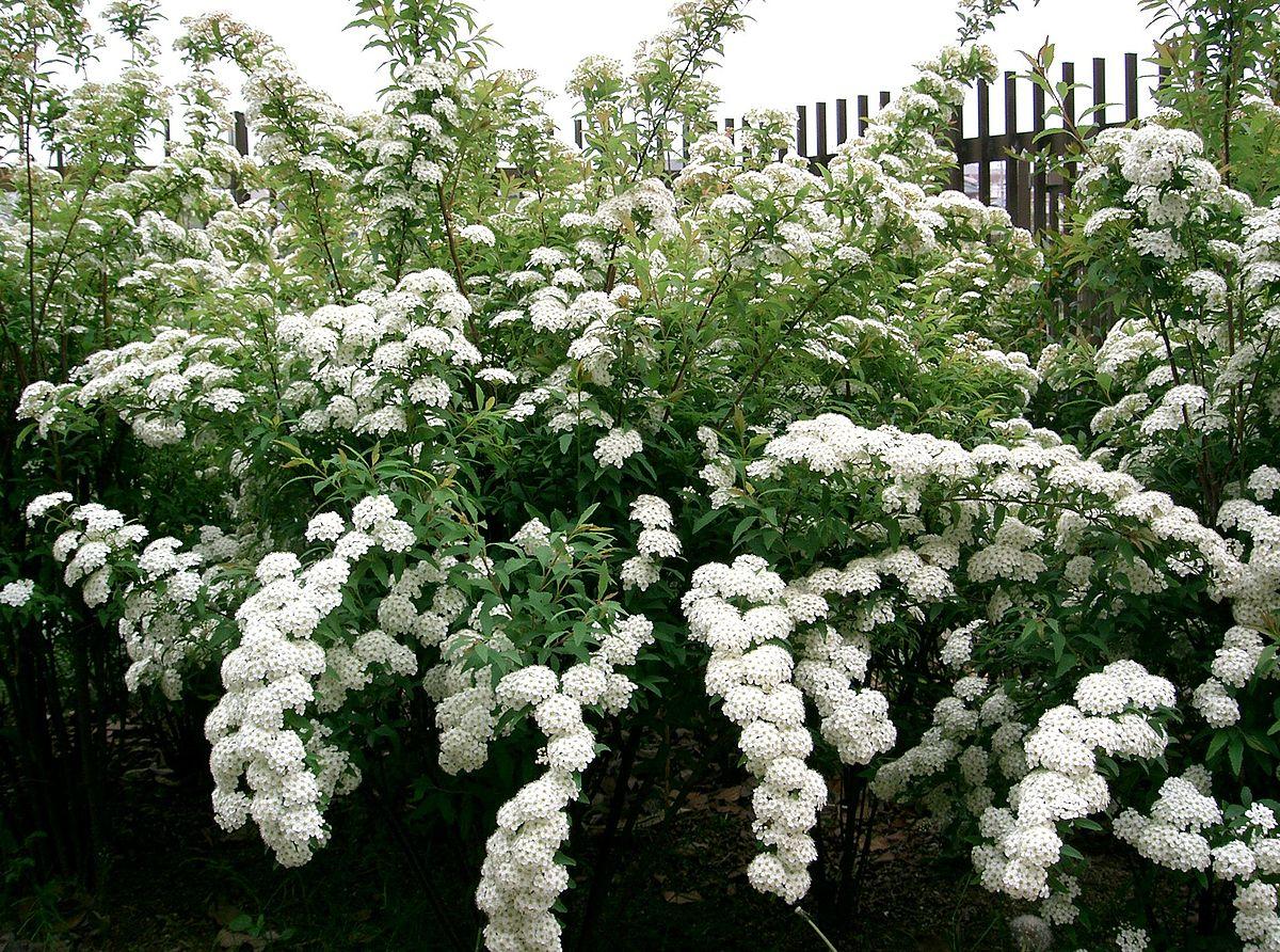 Hoa tiểu tú cầu là hoa gì?