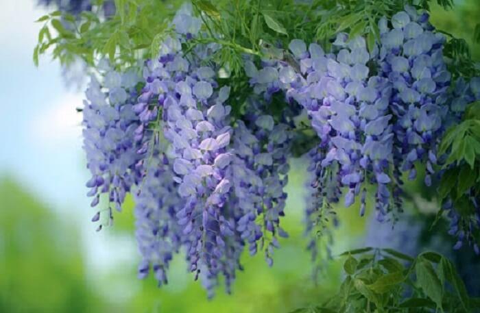 Vẻ đẹp quyến rũ của hoa tử đằng