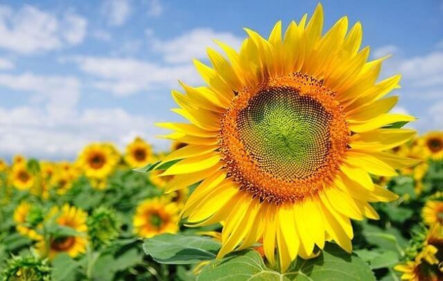 Ý nghĩa tặng hoa hướng dương là gì?