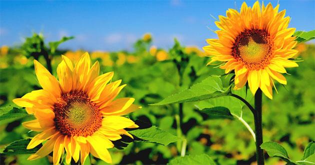 Ý nghĩa số lượng hoa hướng dương khi tặng
