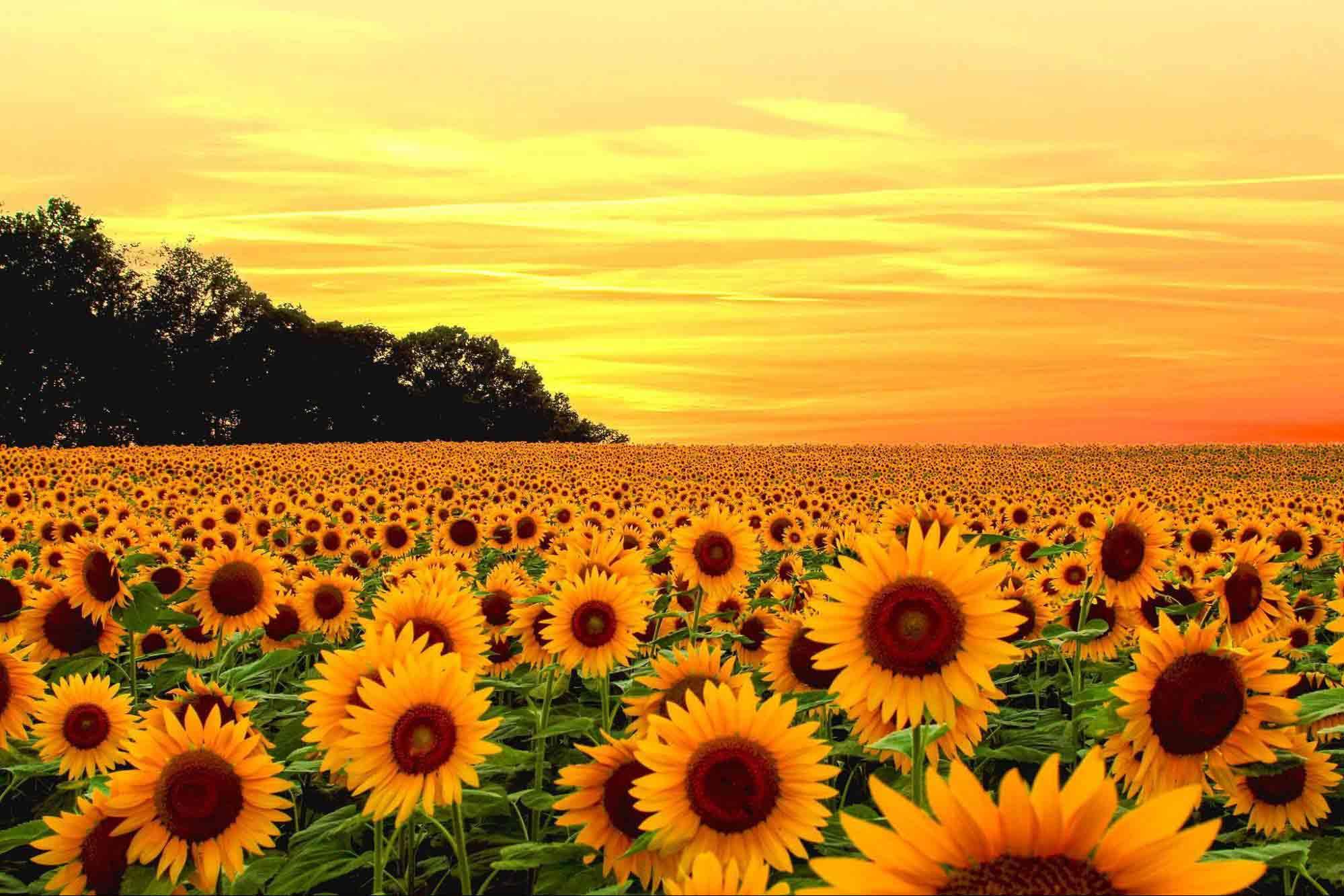 Tặng hoa hướng dương có ý nghĩa gì?
