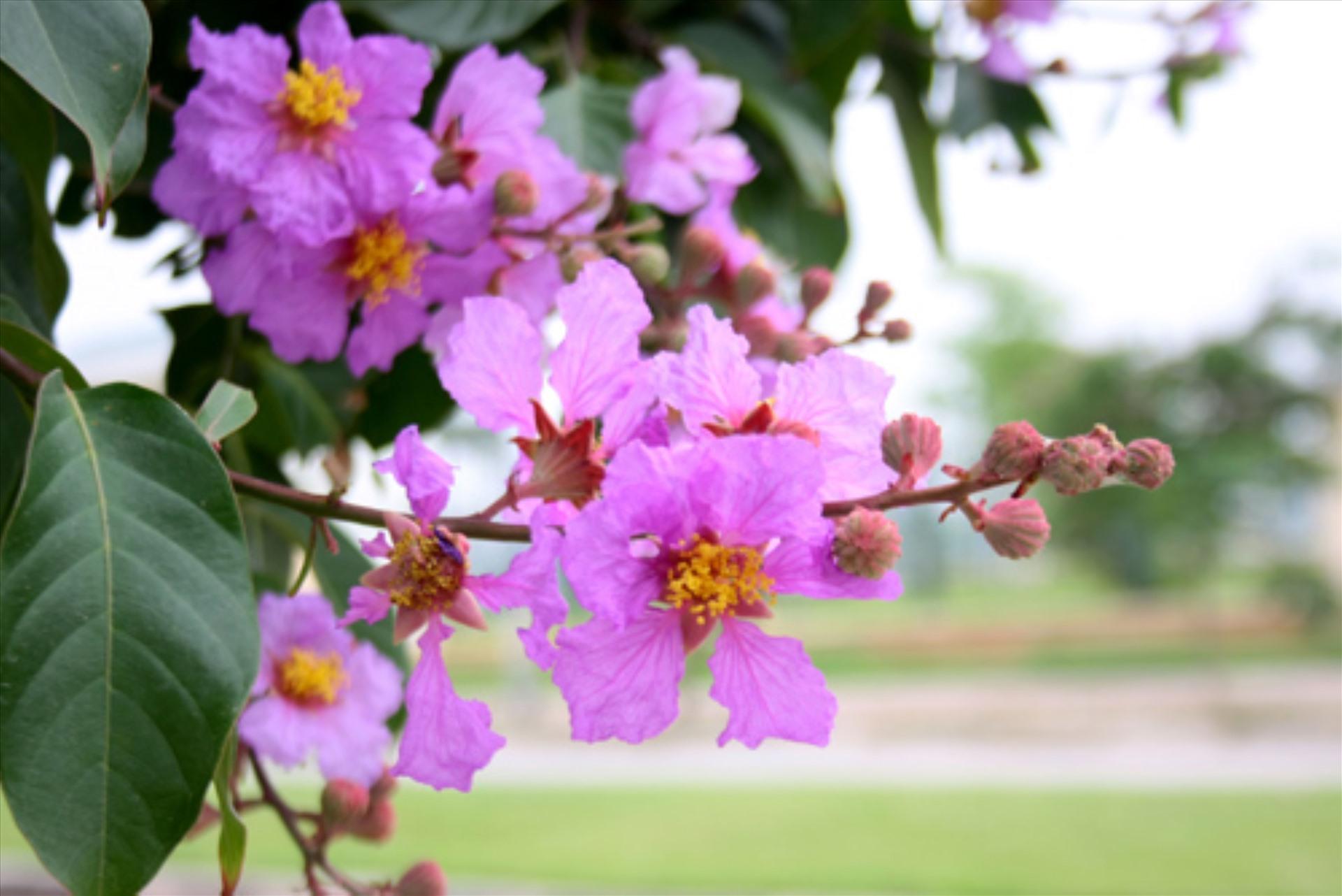 Những bài thơ về hoa bằng lăng