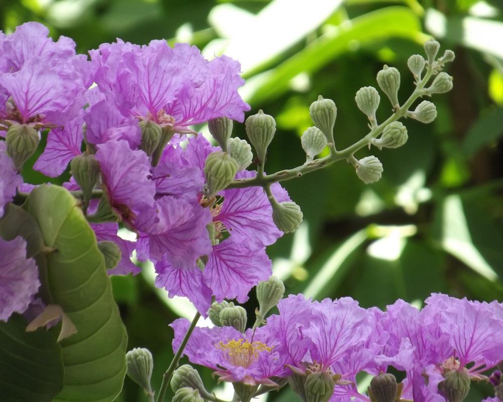 Thơ hay về hoa bằng lăng tím