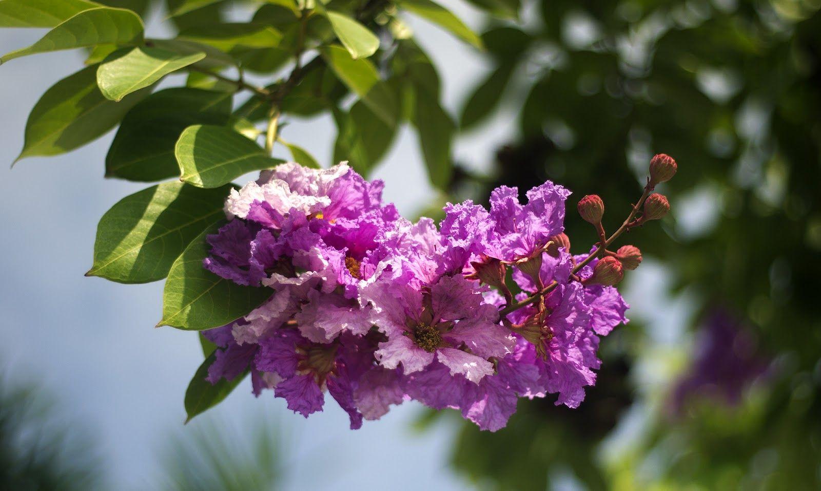 Những câu nói hay về hoa bằng lăng