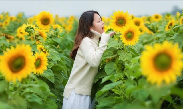 Chụp hình hoa hướng dương