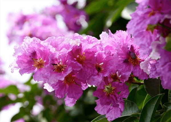 Hình ảnh hoa bằng lăng đẹp