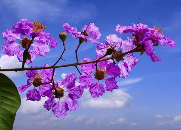 Ảnh hoa bằng lăng tím trên nền trời xanh