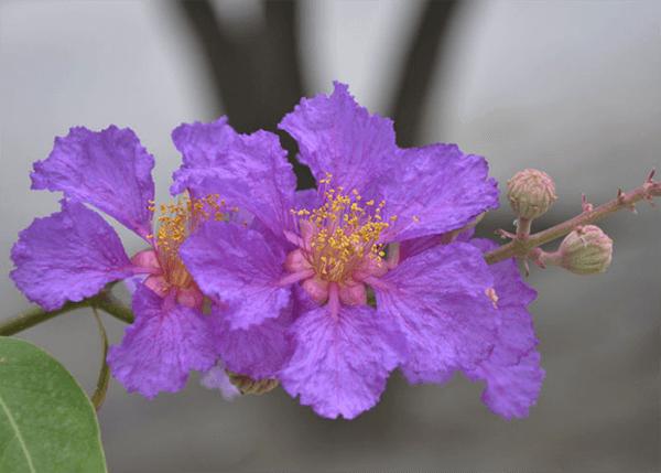 Hình ảnh cận cảnh vẻ đẹp của hoa bằng lăng tím