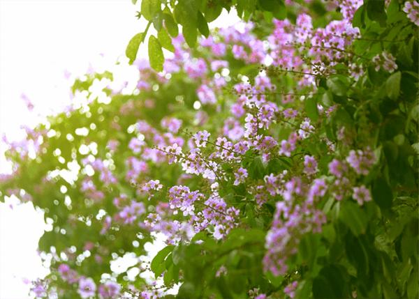 Ảnh hoa bằng lăng đẹp thơ mộng