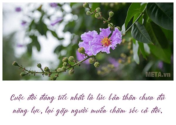 hình ảnh hoa bằng lăng tím đẹp