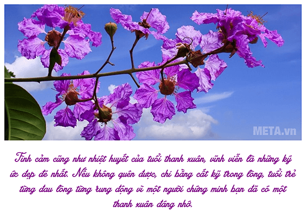 Ảnh hoa bằng lăng với trích dẫn ý nghĩa