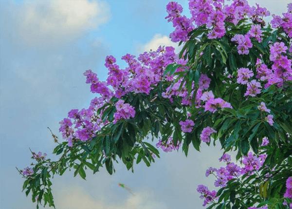 Nét trữ tình toát lên từ sắc tím của hoa bằng lăng