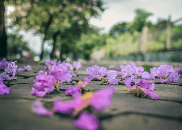 Ảnh hoa bằng lăng buồn