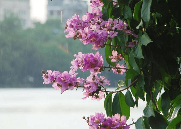 Hình ảnh cây hoa bằng lăng tím
