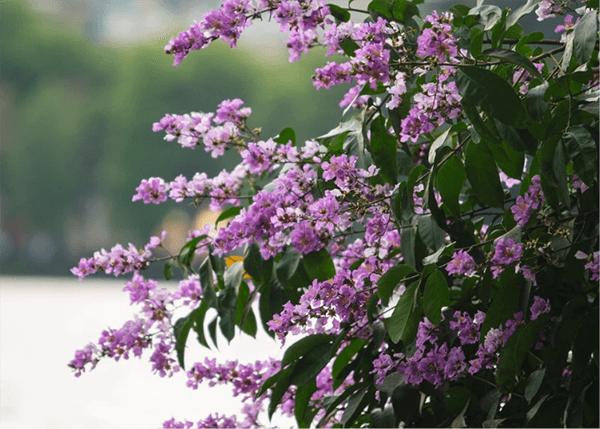 Một góc bằng lăng tím trên đường phố Hà Nội