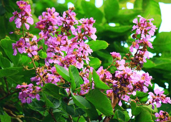 Hoa bằng lăng tím nở rộ mỗi dịp vào hè