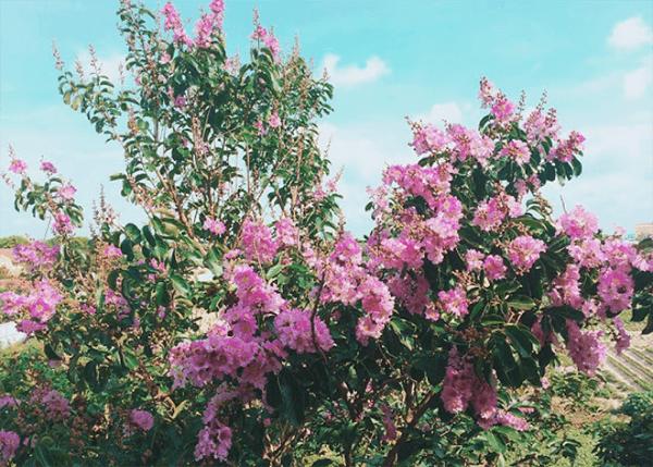 Hình ảnh cây bằng lăng