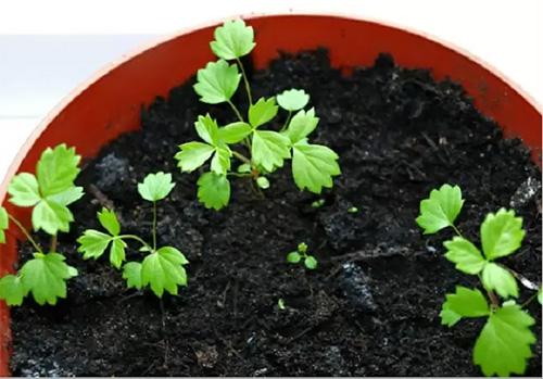 Cách trồng dâu tây