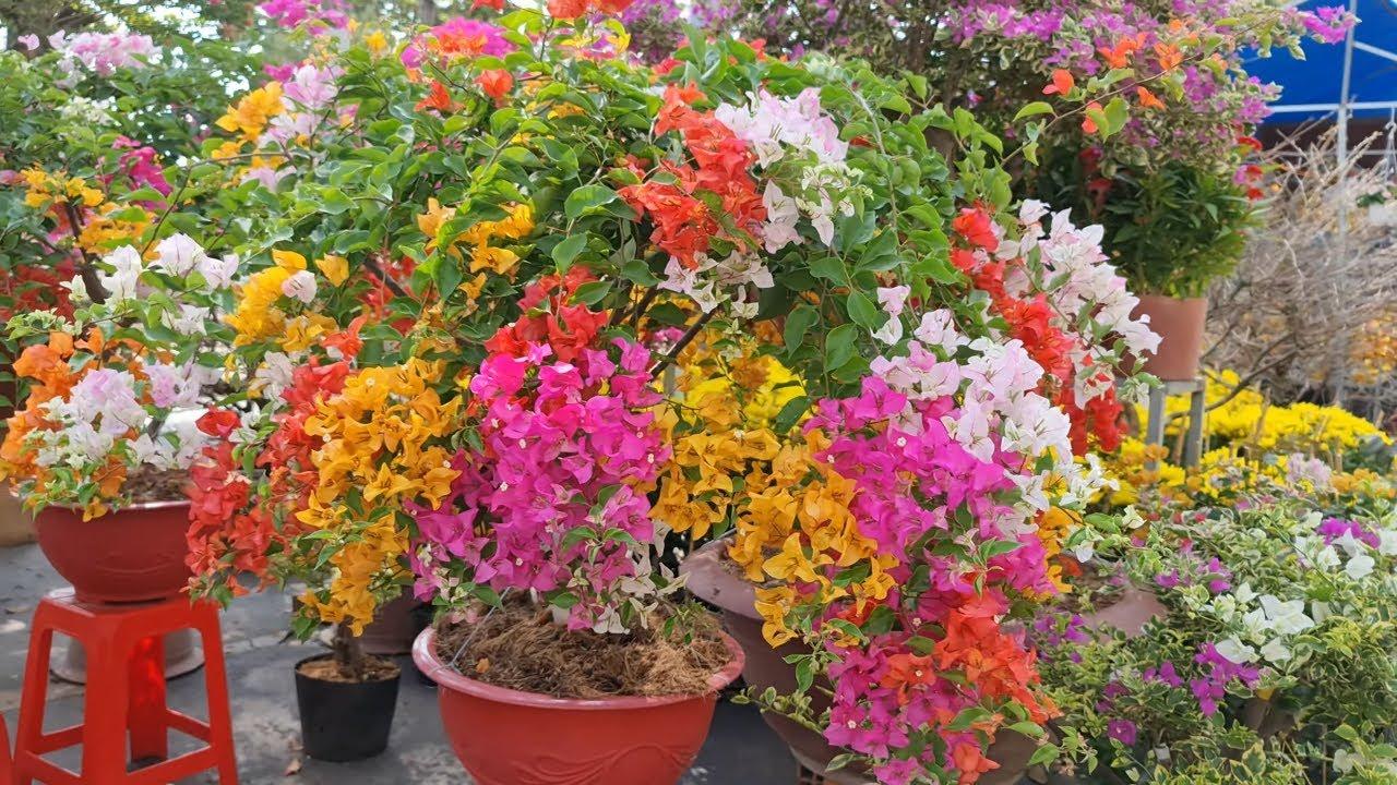Hình ảnh đẹp về hoa giấy ngũ sắc