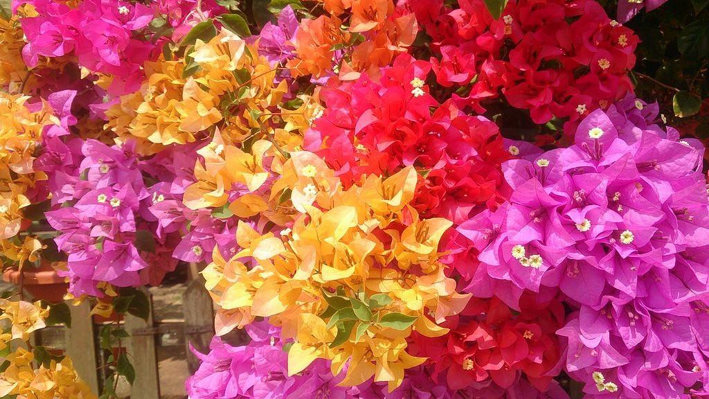 Hoa giấy ngũ sắc đẹp