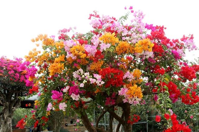 Hoa giấy ngũ sắc là hoa gì?