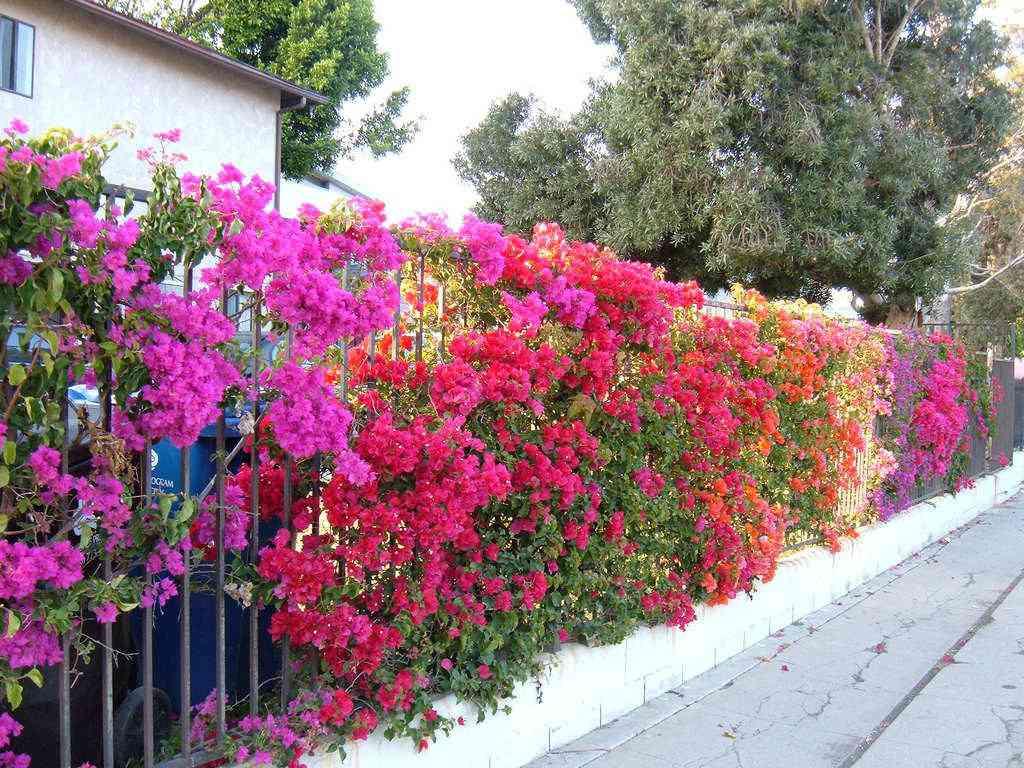 Ý nghĩa của hoa giấy ngũ sắc
