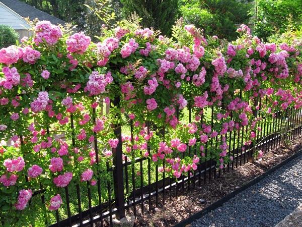 Đặc điểm sinh thái của hoa hồng tường vi