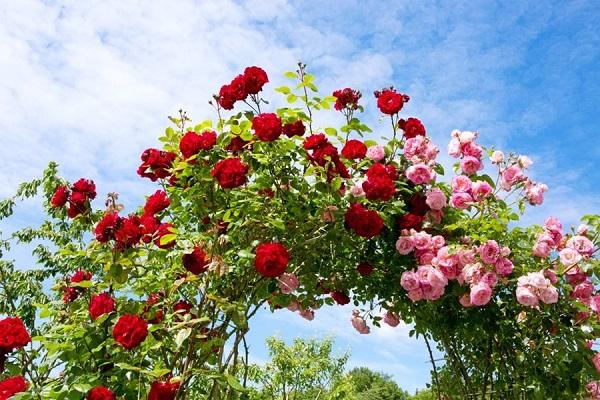Đặc điểm của hoa hồng tường vi