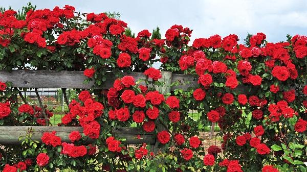 Hoa hồng tường vi là gì?