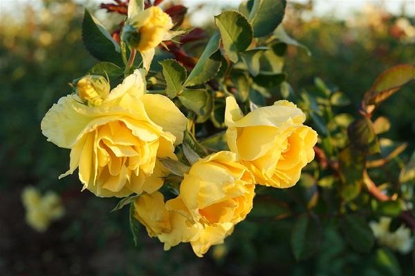 Cách trồng hoa hồng tường vi