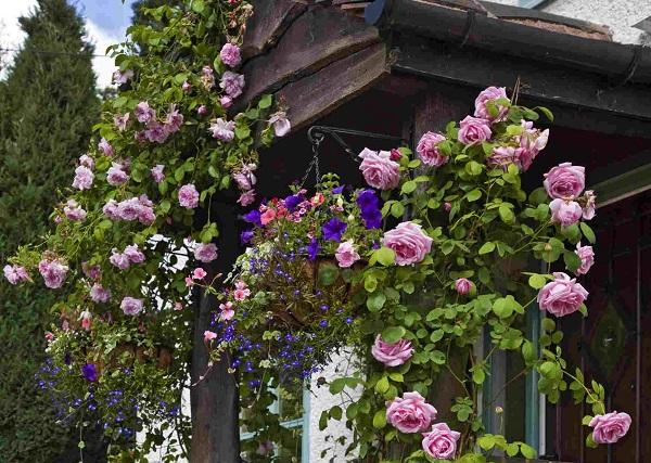 Cách chăm sóc hoa hồng tường vi