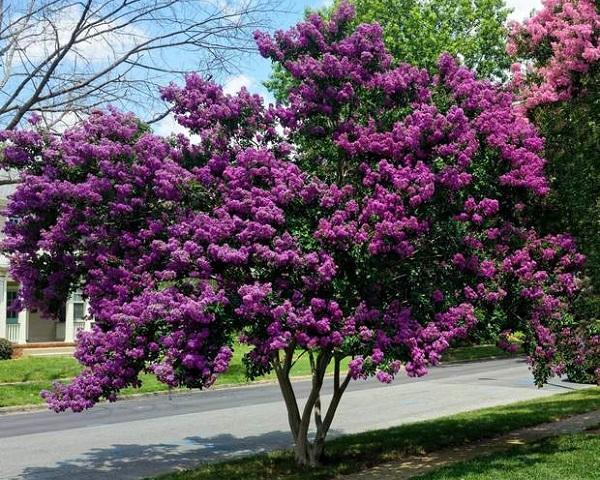 Cách chăm sóc cây tường vi ra hoa đẹp