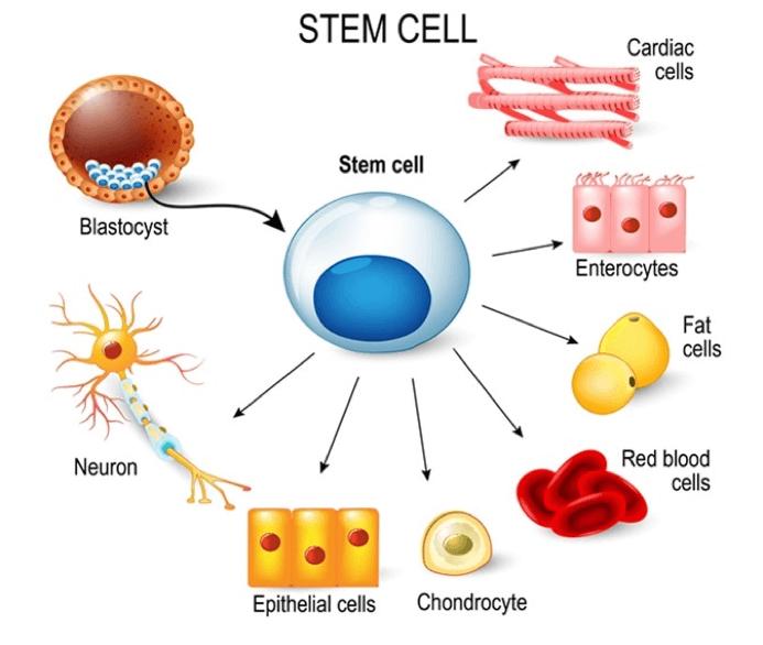 Tế bào gốc có thể tạo ra tất cả các loại tế bào