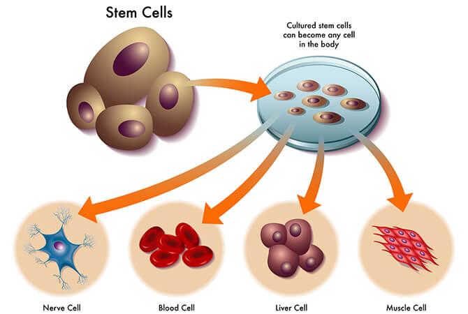 Chức năng của tế bào gốc