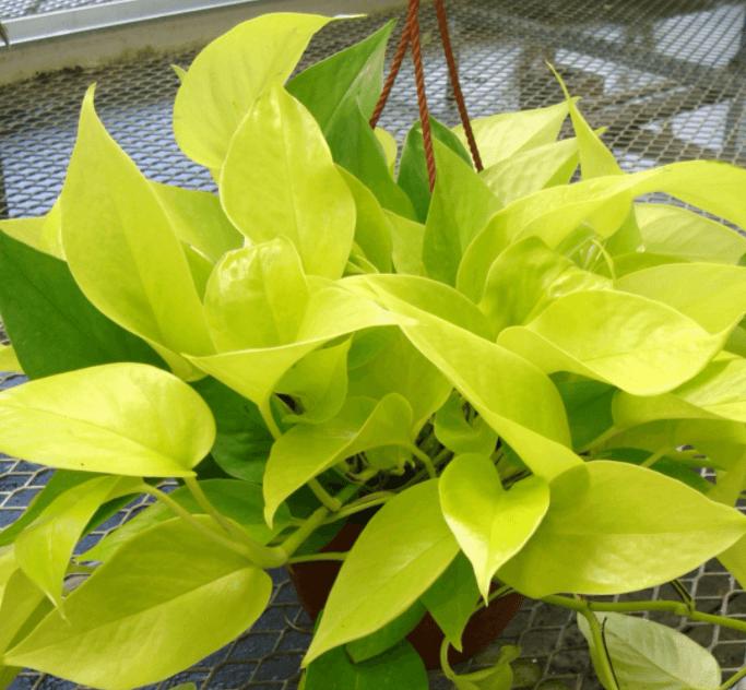 Cây trầu bà vàng