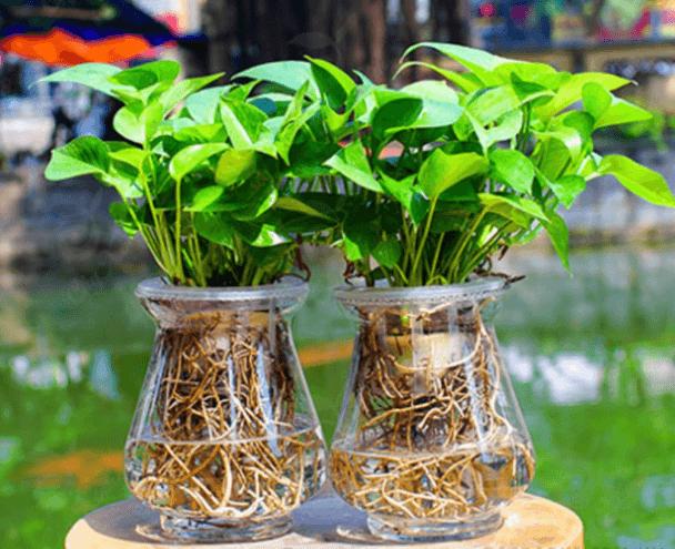 Cách trồng cây trầu bà thủy sinh